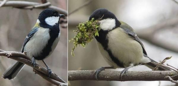 Самец и самка восточной синицы фото (лат. Parus major minor)