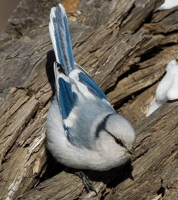 Белая лазоревка (князёк) фото (лат. Cyanistes cyanus)