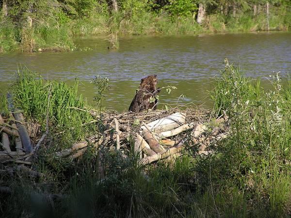 Бобер рядом со своим жилищем фото (лат. Castor canadensis)