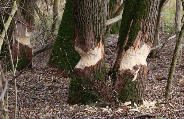 Деревья, обгрызенные бобрами фото (лат. Castor fiber)