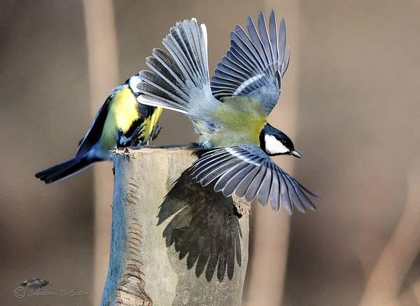 Крылья большой синицы фото (лат. Parus major)