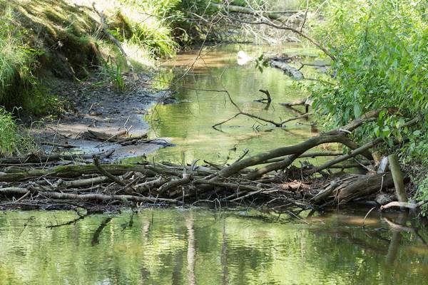 Плотина бобра фото (лат. Castor fiber)