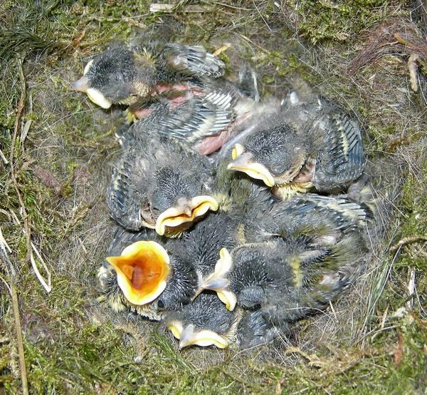 Птенцы большой синицы фото (лат. Parus major)