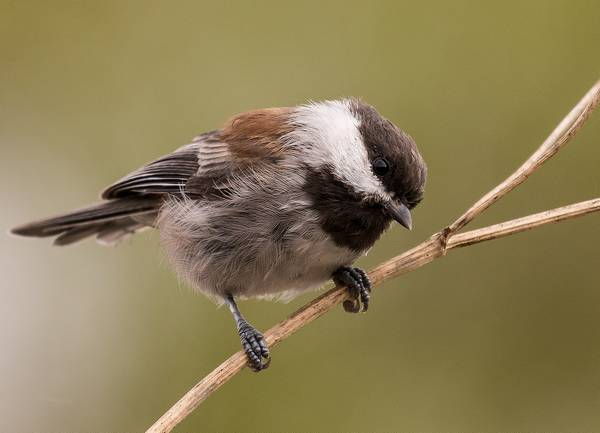 Рыжеспинная гаичка фото птицы (лат. Poecile rufescens)