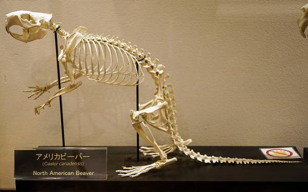 Скелет канадского бобра фото (лат. Castor canadensis)