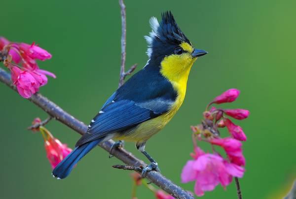 Тайваньская синица фото (лат. Machlolophus holsti)