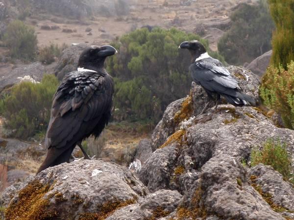 Белощекие вороны на Килиманджаро фото (лат. Corvus albicollis)