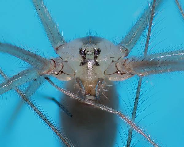 Волоски на теле фаланговидного фолькуса фото (лат. Pholcus phalangioides)