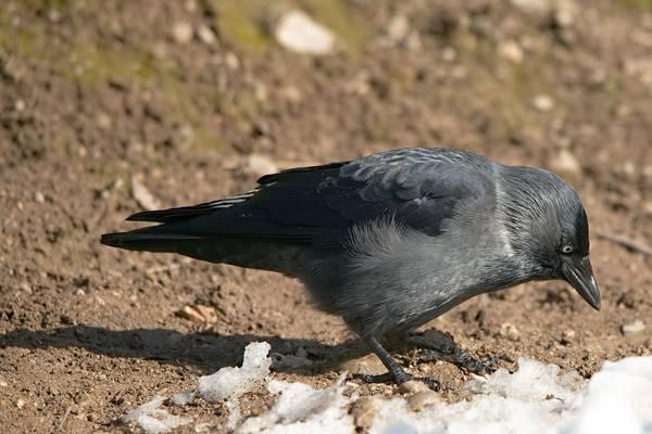 Галка фото (лат. Corvus monedula)