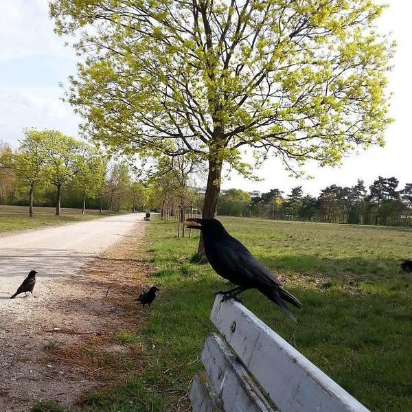 Где обитают вороны фото (лат. Corvus corone)