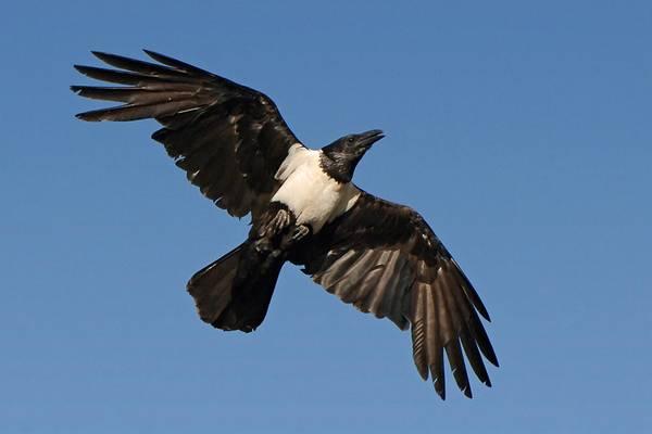 Крылья пегого ворона фото (лат. Corvus albus)