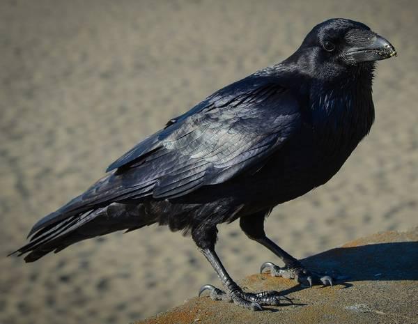 Лапы обыкновенного ворона фото (лат. Corvus corax)