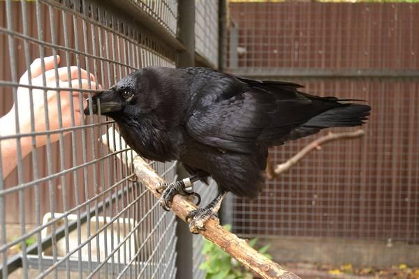 Обыкновенный ворон в зоопарке фото (лат. Corvus corax)