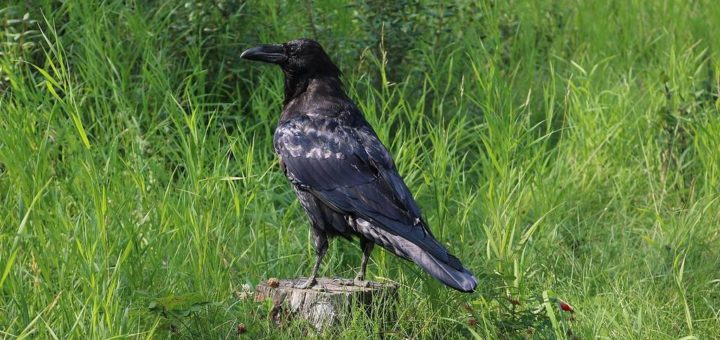 Обыкновенный ворон фото (лат. Corvus corax)