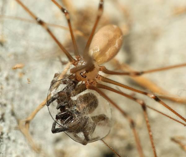 Пища паука-долгоножки фото (лат. Pholcus phalangioides)