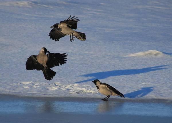 Серые вороны фото (лат. Corvus cornix)