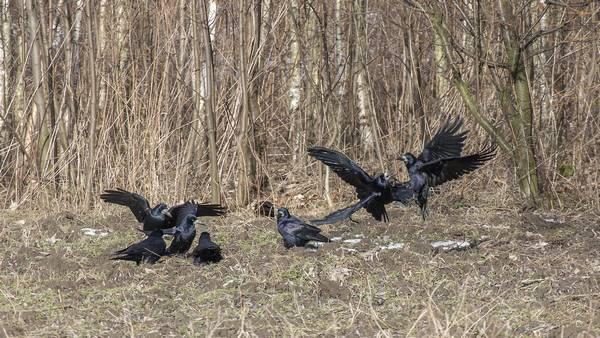 Стая грачей фото (лат. Corvus frugilegus)