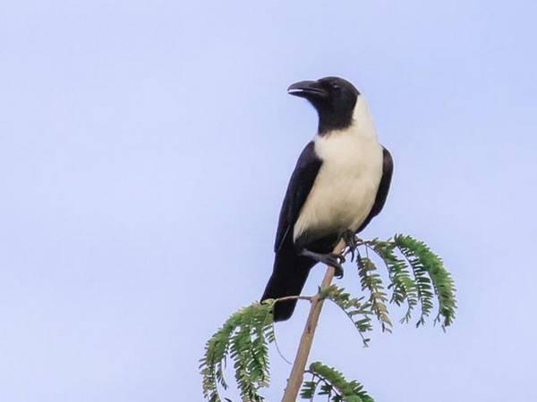 Сулавесский ворон (лат. Corvus typicus)