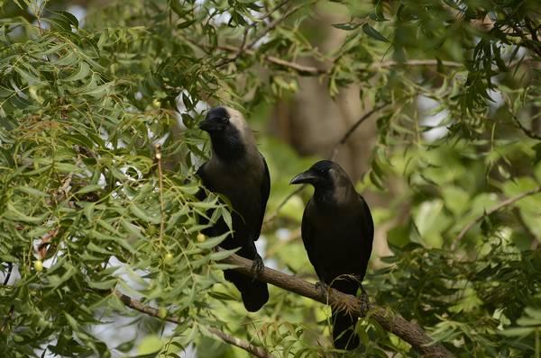 Блестящие вороны фото (лат. Corvus splendens)