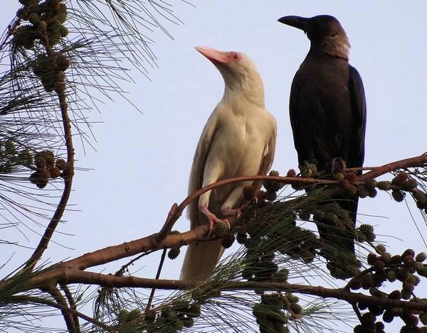 Блестящий ворон альбинос с белым оперением (слева) фото (лат. Corvus splendens)