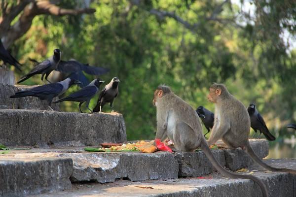 Великолепные вороны и обезьяны фото (лат. Corvus splendens)