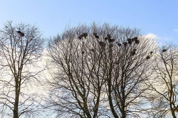 Вороньи гнезда на деревьях фото