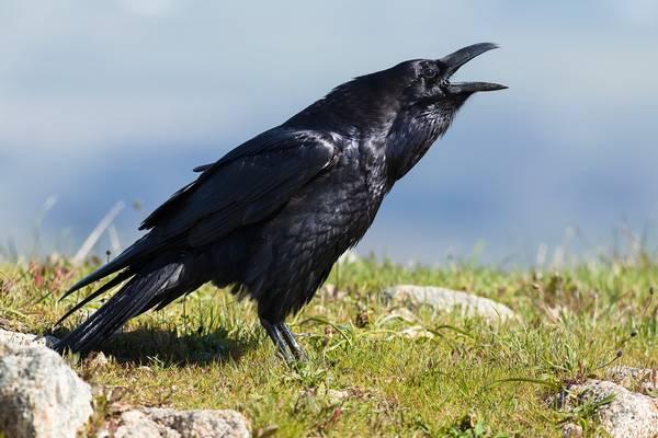 Ворон (обыкновенный ворон) фото (лат. Corvus corax)