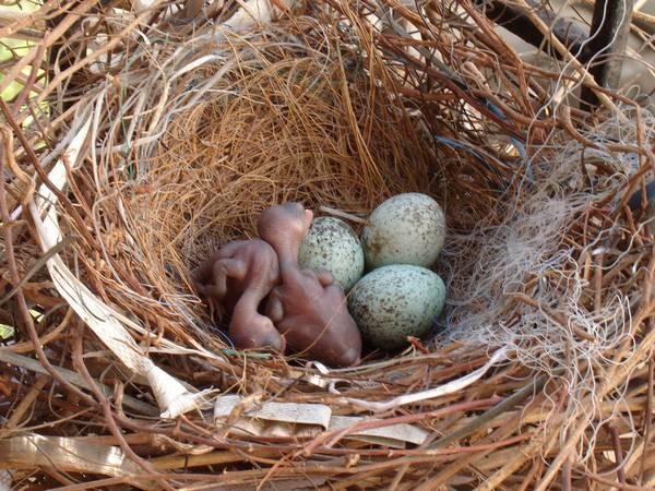 Новорожденные птенцы ворона фото