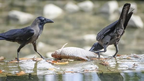Пища ворона фото (лат. Corvus splendens)