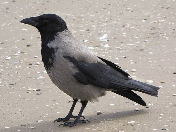 Серая ворона фото (лат. Corvus corone cornix)