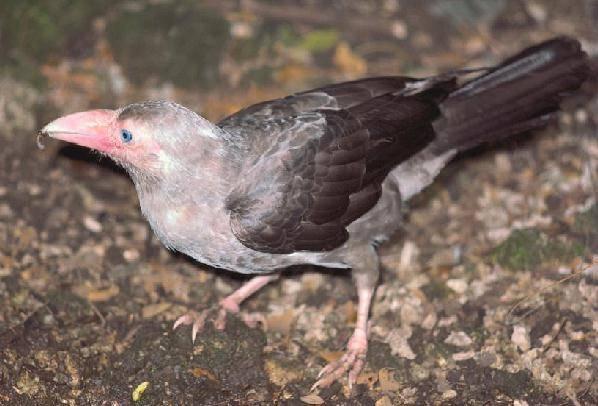 Серый ворон фото (лат. Corvus tristis)