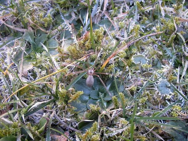 Фаланговидный фолькус на траве фото (лат. Pholcus phalangioides)