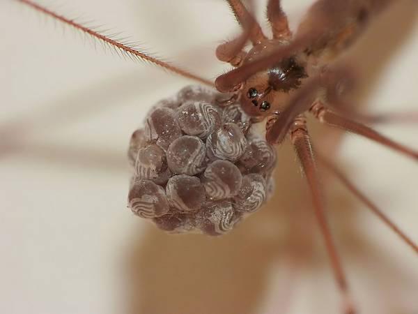 Яйца фаланговидного фолькуса фото (лат. Pholcus phalangioides)