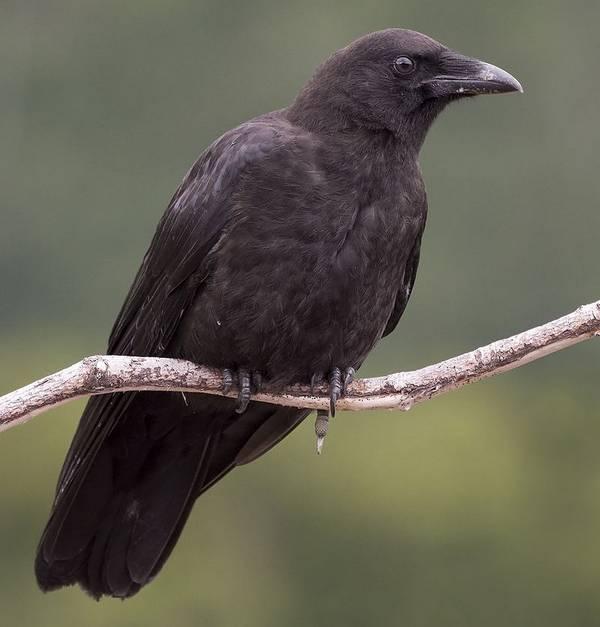 Corvus caurinus фото