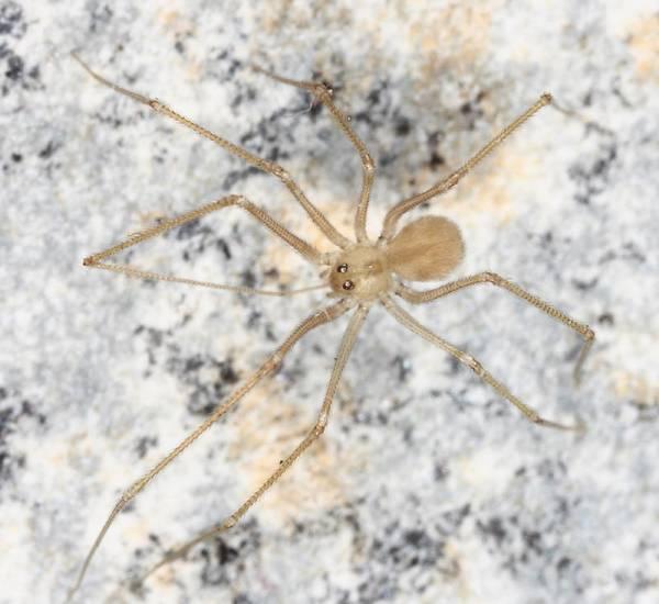 Spermophora senoculata фото