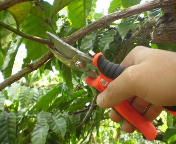 Как обрезать кофейное дерево фото (лат. Coffea)