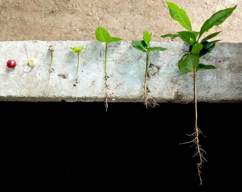 Корни кофейного дерева фото (лат. Coffea)