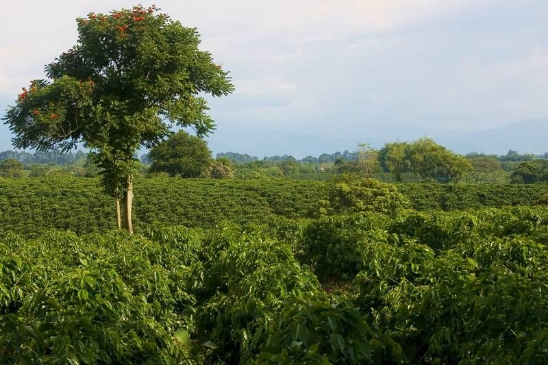 Кофейные плантации фото (лат. Coffea arabica)
