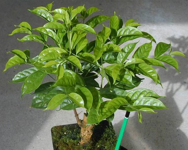 Кофе камерунский фото (лат. Coffea charrieriana)