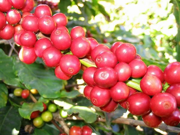 Красные ягоды арабики фото (лат. Coffea arabica)