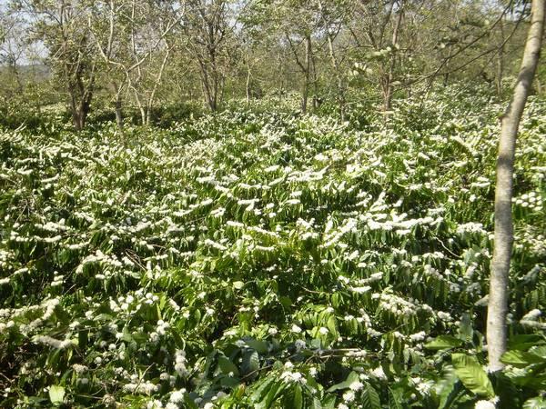 Плантация робусты фото (лат. Coffea canephora)