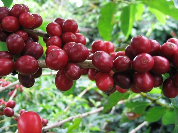 Плоды аравийского кофейного дерева фото (лат. Coffea arabica)
