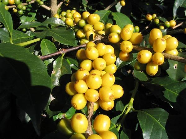 Плоды сорта кофе Желтый Бурбон фото (лат. Coffea Arabica Yellow Bourbon)