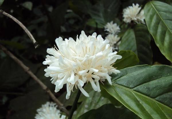 Цветы кофе робуста фото (лат. Coffea canephora, син. Coffea robusta)