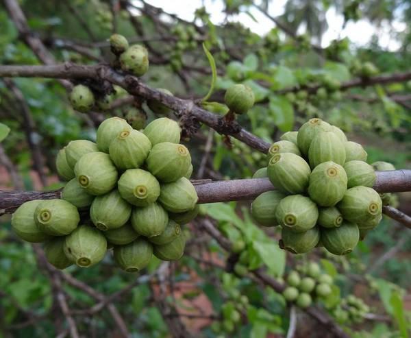 Зеленые ягоды Coffea racemosa фото