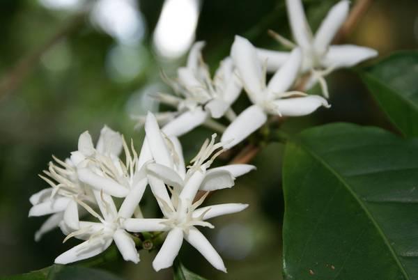 Как цветет арабика фото (лат. Coffea arabica)