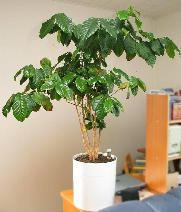 Кофейное дерево в домашних условиях фото