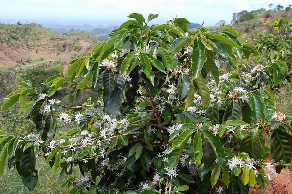 Кофейное дерево в цвету фото (лат. Сoffea)
