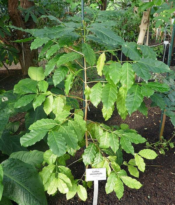 Кофейное дерево Coffea stenophylla фото