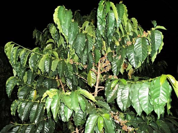 Кофе аравийский (кофейное дерево аравийское, арабика) фото (лат. Coffea arabica)